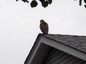 Hawk 2a