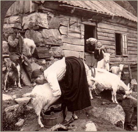 Hardanger Fjord Norway Milking Goats Near Odde 1903 (from a Singley Keystone Stereoview)