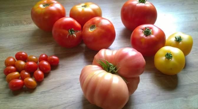 Tomato-zilla
