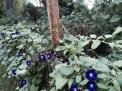 JS MG vine garden