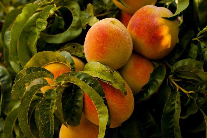 The Peach Man Cometh