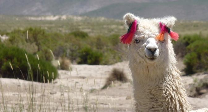Waitlisted for Llamas