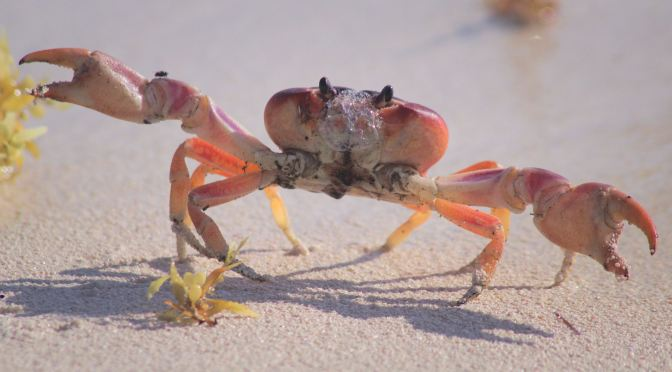 REAL CRABBY