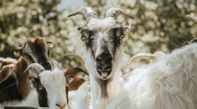 Goats in the News: COVID-19 Edition
