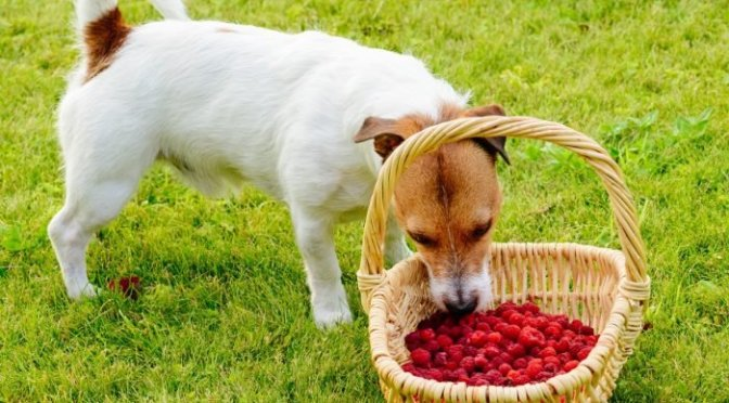 Lots of Dogs, No Raspberries